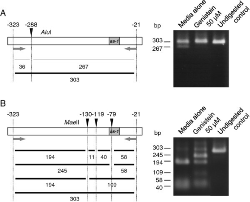 Analysis of methylation status of CaMV 35S promoter in genistein-treated N. benthamiana plants by restriction digestion of DNA fragments amplified with PCR from bisulfite-treated DNA. (A) Analysis of cytosine at position -288 (relative to the transcription initiation site) of the promoter using AluI. (B) Analysis of cytosines at positions -130, -119, and -79 of the promoter using MaeII. Note that treatments of PCR-amplified fragments with AluI and MaeII both resulted in lower levels of digestion when DNA isolated from genistein-treated plants was used for the analysis, indicating that genistein-treated plants have a lower frequency of cytosine methylation in the promoter. Sizes of DNA fragments (in bp) predicted by complete or partial digestions are indicated below the maps of the promoter. Arrows indicate primers for PCR. The position of the cis-acting as-1 element, to which binding of protein factor(s) is inhibited by cytosine methylation [60], is shown.