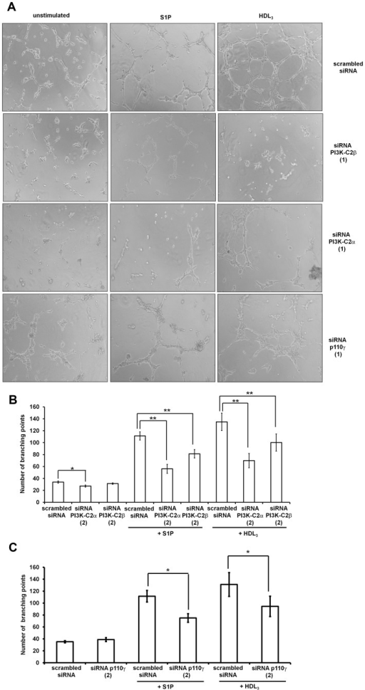 Class II and class IB PI3Ks regulate remodelling of HUVEC.HUVEC transfected with the indicated siRNAs were serum starved in M199 containing 0.5% FBS overnight before being detached and plated on growth factor reduced Matrigel in the presence of 1 µM S1P or 200 µg/ml HDL3. EC rearrangement was visualised after 4 to 6 h using an Axiovert200 microscope. (A) Representative images of branching points formation in HUVEC transfected with the indicated siRNAs (Sequences 1) in the absence or presence of S1P or HDL3. (B,C) Results from quantitative analysis in HUVEC transfected with the indicated siRNAs (Sequences 2) in the absence or presence of S1P or HDL3. Data indicate the total number of branching points and are means ± SEM from 4 (B) and 3 (C) independent experiments. *p<0.01; **p<0.001.