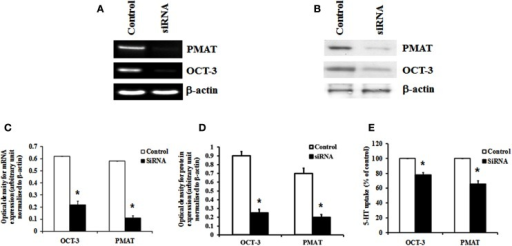 Effects of siRNA knockdown of OCT-3 and PMAT on 5-HT uptake in HBVSMCs. (A) mRNA and (B) protein expressions of OCT-3 and PMAT mRNA in HBVSMCs transfected with siRNA against OCT-3 and PMAT and a control non-silencing sequence. Bar graph showing the amount of (C) mRNA and (D) protein of OCT-3 and PMAT normalized to β-actin. (E) 5-HT uptake in HBVSMCs transfected with OCT-3 and PMAT siRNA and a control non-silencing sequence. Values are means ± SEM of three separate experiments. *P < 0.05 vs. control.