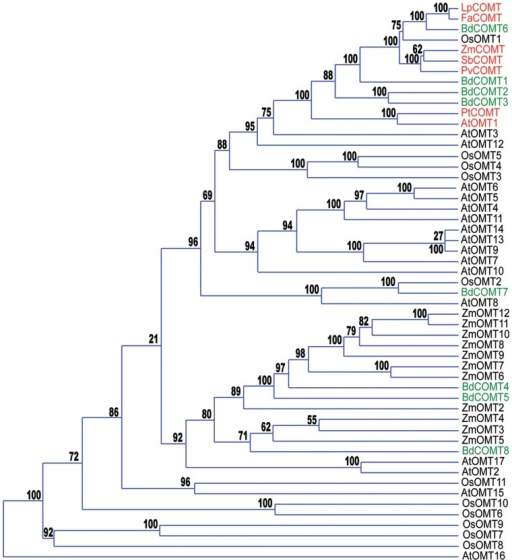Phylogenetic analysis of putative COMT proteins.Phylogeny tree (phylogram) made with OMT proteins from Brachypodium (BdCOMT), rice (OsOMT), maize (ZmOMT) and Arabidopsis (AtOMT). The proteins known to be involved in lignification in ryegrass (LpCOMT), sorghum (SbCOMT), switchgrass (PvCOMT), fescue (FaCOMT) and poplar (PtCOMT) are included in the analysis and shown in red in the phylogram as well as Arabidopsis (AtOMT1) and Maize (ZmCOMT1) proteins. Brachypodium proteins (BdCOMT) are shown in green. Protein sequences are available in Information S1. Bootstrap values indicating the level of support for the displayed representation after re-sampling are shown on each node.