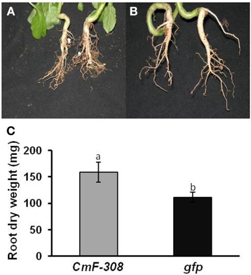 Effect of transient expression of CmF-308 on root mass of N. benthamiana plants. Roots of pot-grown plants agroinfiltrated with plamids containing the coding sequence of CmF-308(A) or gfp(B). Pictures were taken 14 days after infiltration of the respective plasmids into the source leaves. (C) Root mass of hydroponically grown N. benthamiana plants 14 days after infiltration of the CmF-308 or gfp coding sequence into the source leaves. Data represent means of eight replications ± SE. Different letters indicate significant differences between plant lines at p < 0.05 by Student's t-test.