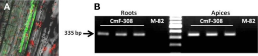(A) Activity of AtSUC2 promoter in transgenic tomato plants. GFP is visualized the vasculature (companion cells) of tomato stem. (B) Presence of CmF-308 transcript in shoot apices and roots of three independent transgenic tomato plants expressing the gene under the AtSUC2 promoter. The commercial variety M-82 served as a control for the RT-PCR assay.