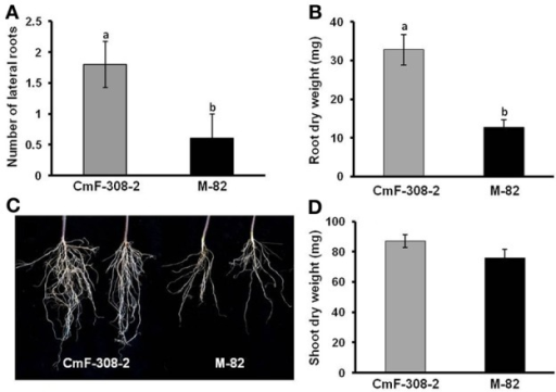 Effect of CmF-308 expression in the phloem of tomato plants on root development. Number of lateral roots (A), root dry weight (B), and a picture (C) presenting the differences between roots of transgenic tomato plants expressing CmF-308 under the AtSUC2 promoter (CmF-308-2) as compared with the control variety M-82. (D) Shoot dry weight of transgenic tomato plants expressing CmF-308 under the AtSUC2 promoter (CmF-308-2) as compared with the control variety M-82. Lateral roots were counted in 9-days old seedlings germination on germination papers (A). Shoot and root weight was measured in 3-week old pot-grown plants (B–D). Data represent means of six replications ± SE. Different letters indicate significant differences between the plant lines at p < 0.05 by Student's t-test.