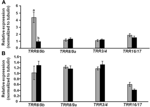 Effect of CmF-308 expression in the phloem of tomato plants on the expression of cytokinin-response genes. The expression of members of the tomato response regulator (TRR) gene family was determined by qRT-PCR in leaves (A) and roots (B) of 21-day-old CmF-308-transgenic (gray columns) and control M-82 (black columns) plants. Data represent means of four replications ± SE. Different letters indicate significant differences in relative expression of specific genes between the two plant lines at p < 0.05 by Student's t-test.