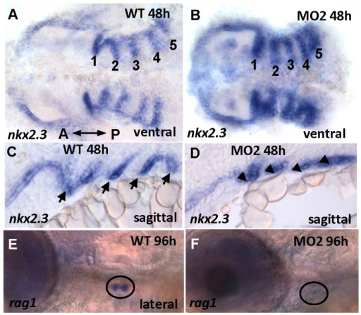 nkx2.3 expression.nkx2.3 is expressed in the segmented endodermal pouches in control (A, C) and morphant embryos. These segmented endodermal pouches are almost fused in the morphants (B, D). The rag1-positive thymus, a derivative of the endodermal pouch (E) is absent in the morphant (F). A: anterior, P: posterior.