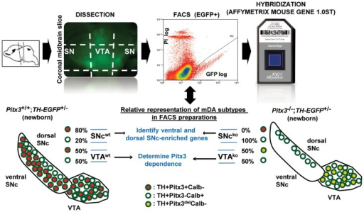 Strategy for isolation of FACS-purified Pitx3-dependent (red) and Pitx3-independent (white) mDA neurons for expression profiling analysis.Dissected SN and VTA from newborn TH-EGFP transgenic Pitx3+/+ and Pitx3−/− mice were used for FACS purification of catecholaminergic neurons. The EGFP+ cells consists in various proportions (approximate % shown) of Pitx3+ (red), Pitx3− (white) and Pitx3del (yellow) mDA neurons, depending on the region dissected and mDA neuronal loss resulting from Pitx3 inactivation. RNA from four cell preparations (SNc WT, VTA WT, SNc KO, VTA KO) were analyzed by hybridization in duplicates to Affymetrix Mouse Gene 1.0ST microarrays.