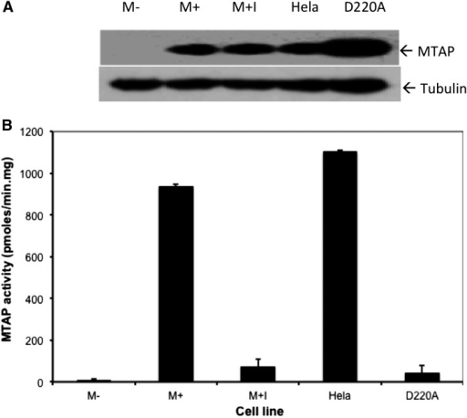 MTAP expression and activity in HT1080 cells. (A) Western blot showing levels of MTAP in extracts from stably transfected HT1080 cells. M− is the parent cell line transfected with vector alone (pTRE2). M+ has been transfected with the MTAP expressing construct pTRE2:MTAP. M+I is the identical to M+, except the cells have been treated for 72 hr with 10 μM the MTAP inhibitor, MT-DAD-Me-ImmA. Hela contains extract from a MTAP+ Hela cell. D220A contains extract from a HT1080 cell that has been transfected with a plasmid that expresses D220A MTAP (pTRE2:MTAP:D220A). (B) MTAP enzymatic activity measured in the same extracts as used in (A). Error bars show SD of enzyme assay (n = 4). All means are different from each other as assessed by one-way ANOVA followed by Tukey test (P < 0.01 for all comparisons).