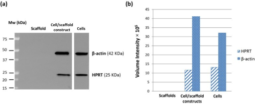 Western blot results of β-actin and HPRT expression in HepG2 cells cultured in monolayers for 4 days (80% confluence) and inside PVA/G hydrogels for 24 days. Hydrogels without cells were tested as negative controls. The immunoblot reaction is shown in (a) and the band analysis in (b).