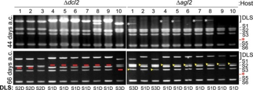 Differences in DLS-generation profiles between the two RNA-silencing deficient hosts. Agarose gel electrophoresis of MyRV1/S4ss dsRNAs from Δdcl2 and Δagl2 at 44 and 66 days a.c. Progression of DLSs between Δdcl2 and Δagl2 were compared. All virus-infected isolates of Δdcl2 developed DLSs even at 44 days a.c. While some virus-infected Δagl2 subcultures showed very faint DLS bands (shown by white asterisks), DLSs were observed in all MyRV1/S4ss-infected Δagl2 isolates at 66 days a.c. with even lower intensity than those in Δdcl2. Red bars in the Δdcl2 panel indicate the loss of cognate normal segments in agarose gel, while yellow arrowheads in the Δagl2 panel represent remnants of standard segments. Red asterisks show migration positions of S4.