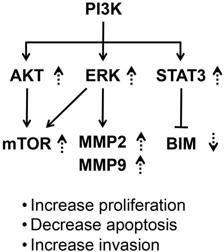 A proposed molecular model to indicate a common activated signaling initiated from activation of PI3K by the C-terminal mutants of TRβ1Activation of PI3K-mTOR/ERK-MMPs led to cell proliferation and invasion. Activation of PI3K-STAT3-BIM led to decreased apoptosis to promote tumor growth. The broken lines show the changes found in the present studies. The up-arrows show the increases and down-arrows show the decreases.
