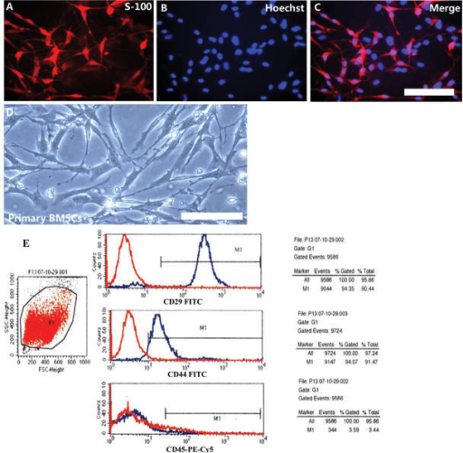 Morphology of adult SCs and BMSCs in vitro. (A–C) Immunofluorescence staining of adult primary SCs: (A) S-100 (red); (B) Hoechst 33258 (blue); (C) merged (scale bar, 50 µm). (D) Phase-contrast images of adult primary BMSCs (scale bar, 100 µm). (E) Flow-cytometric analysis showed CD29- and CD44-positive but CD45-negative signals in P13 BMSCs of adult rats (blue, assay group; red, control group). BMSC, bone marrow stromal cell; SC, Schwann cell; FITC, fluorescein isothiocyanate; PE, phycoerythrin; FSC, forward scatter; SSC, side scatter.