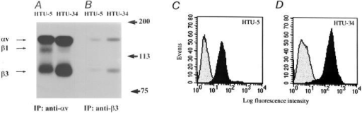 Characterization of the surface integrin repertoire in HTU-5 and  HTU-34 thyroid clonal strains. Confluent cells were surface biotinylated and  detergent lysates were immunoprecipitated with the indicated mAbs to different integrin subunits as described in  Materials and Methods. The eluates  were then analyzed by SDS-PAGE under nonreducing conditions. To demonstrate association of the β1 subunit  with the αv chain, anti-αv immunoprecipitates were Western blotted and then decorated with a β1 polyclonal  antiserum (E). Cell surface expression of the β3 subunit was also assessed by FACS® analysis (C and D). Washed, unfixed HTU-5 (C) and  HTU-34 (D) cells were stained for indirect immunofluorescence and  flow cytometry analysis as described in Materials and Methods. Each  profile was generated from analyzing 10,000 cells. Relative values of  MIF were derived from gated computerized histogram analysis and expressed as log arbitrary units. Nonspecific fluorescence was measured  using the secondary fluorescein-tagged rabbit anti–mouse IgGs alone  (shaded diagrams) and found to have a MIF <7. Specific β3 fluorescence (black diagrams) corresponded to a MIF of 38.7 in HTU-5 cells  and 238.44 in HTU-34 cells.