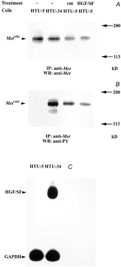 Biochemical evidence of HGF/SF autocrine production  by the HTU-34 clone. HTU-5 cells were either left untreated or  incubated for 10 min with conditioned medium from the HTU-34  clone (cm HTU-5) or with 50 ng purified HGF/SF (HGF/SF  HTU-5). Unstimulated and stimulated HTU-5 cells, together  with untreated HTU-34 cells, were extracted and immunoprecipitated with a human c-Met polyclonal antibody. The eluates were  then split into two equal fractions, Western blotted, and decorated with mAbs to c-Met (A, anti-Met) or to phosphotyrosine (B,  anti-PY). The c-Met receptor β chain (Met145β) appeared to be  constitutively tyrosine-phosphorylated in the HTU-34 strain.  Specific tyrosine-phosphorylation of the Met protein could be induced in HTU-5 cells by treatment with HTU-34–conditioned  medium or with HGF/SF. The HGF/SF transcript is specifically  expressed in HTU-34, but not in HTU-5, cells (C). 30 μg of total  RNA from HTU-5 and HTU-34 cells were separated by electrophoresis, transferred to nylon filters, and hybridized to 32P- labeled probes specific for HGF/SF and for the housekeeper  gene GAPDH.