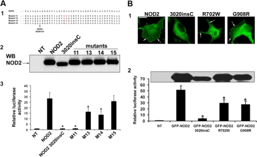 Ligand-induced NF-κB activation are dependent on a three–amino acid motif that is required for membrane association. (A, 1) Amino acid sequences of Flag-NOD2 COOH-terminal substitution mutants. (2) Expression of these mutants was determined by Western blot analysis using NOD2 antiserum HM2563. (3) Fold increase of NF-κB activation was determined as described in Fig. 4. (B, 1) GFP-NOD2 wild type and the three main NOD2 mutations that are associated with CD (GFP-NOD2 3020insC, GFP-NOD2 R702W, and GFP-NOD2 G908R) were transfected in COS7 cells. Only NOD2 3020insC failed to colocalize with the plasma membrane, whereas the two other NOD2 mutant forms still showed membrane association (arrows). Bar, 20 μm. (2) Expression of NOD2 mutants and NF-κB activation were determined and compared with untransfected and nonstimulated HEK293 with MDP-LD, as described in Fig. 4. Error bars represent SEM of at least four separate experiments. *, P < 0.05.