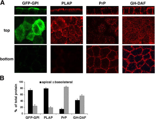 GPI-APs are apically and basolaterally sorted. MDCK cells stably expressing GFP-GPI, PLAP, PrP, or GH-DAF were grown to confluence on filters. Cells were fixed and in the case of PLAP, PrP, and GH-DAF stained with specific antibodies followed by a TRITC-conjugated secondary antibody in nonpermeabilized conditions. Serial confocal sections were collected from the top to the bottom of cell monolayers (A). Cells were labeled with LC-biotin respectively added to the apical or the basolateral surface. After immunoprecipitation with specific antibodies samples were run on SDS-PAGE and revealed using HRP-streptavidin (B). The histograms show percentages of apical or basolateral protein expressed as the average of three different experiments. Standard error bars are indicated.