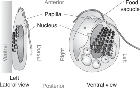 Diagram of cell structure of r truncataleft lateral v open i diagram of cell structure of r truncataleft lateral view and ventral view are ccuart Images