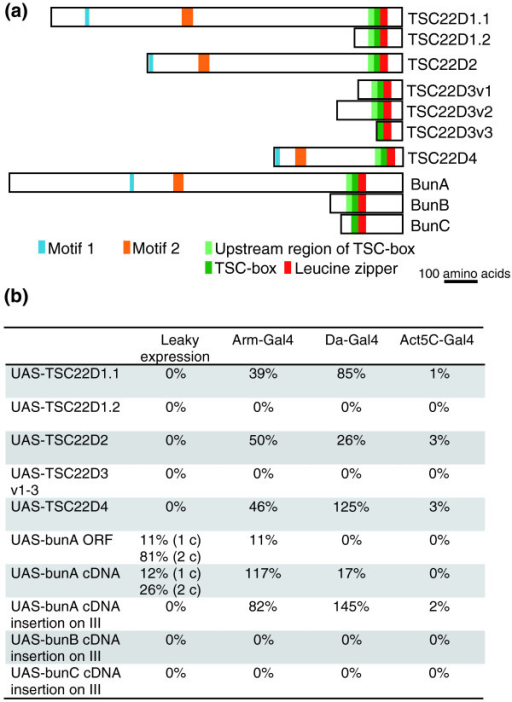 Long human TSC22DF isoforms can replace BunA function in Drosophila. (a) Schematic drawing of human and Drosophila TSC22DF proteins that were tested for their ability to rescue the lethality of bun mutants. The long isoforms possess two short conserved stretches named motif 1 and motif 2. Whereas BunA represents the long TSC22DF isoforms in Drosophila, BunB and BunC are two of the short isoforms. (b) Expression of long TSC22DF isoforms restores the viability of bun mutants. The quality of the rescue is indicated as a percentage of the expected Mendelian ratio. The Gal4 driver lines are ordered according to the strength of ubiquitous expression they direct during development, with arm-Gal4 being the weakest and Act5C-Gal4 the strongest driver line. In each experimental cross, n ≥ 200 progeny flies were analyzed. Leaky expression, without Gal4; 1 c and 2 c, one or two copies of the respective UAS construct. The ZH-attP-86Fb integration site seems to mediate strong expression as the UAS-attB-bunA constructs (ORF and cDNA) do not need to be driven by a Gal4 line for rescue, in contrast to the UAS-bunA construct (cDNA) generated by standard P-element-mediated germline transformation (inserted non-site-specifically on chromosome III). Note that too high expression of long TSC22DF members is harmful to flies. In a wild-type background, Act5C-Gal4-directed expression (n ≥ 200) of TSC22D2 and of bunA ORF kills the animals (0% survival). Expression from the bunA cDNA construct produces few escapers (3%), whereas expression from the bunA cDNA P-element construct and of TSC22D4 results in semi-viability (14% and 69%, respectively). Only TSC22D1.1 can be expressed by Act5C-Gal4 without compromising survival (>80%). Thus, there appears to be an optimal range of long TSC22DF concentration for viability.