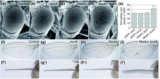 Co-overexpression of Madm and bunA causes overgrowth. (a-d) Scanning electron micrographs of adult eyes as a readout for the consequences of overexpression of bunA and Madm under the control of the GMR-Gal4 driver line late during eye development. Whereas expression of (b) bunA or (c) Madm singly does not cause a size alteration compared to the control (a), overexpression of both leads to increased eye size (d). (e) The size increase on bunA and Madm coexpression is due to larger ommatidia (Student's t-test, n = 9, ***p < 0.001). (f-i) The growth-promoting effect of bunA and Madm co-overexpression is also observed in the wing. Single expression of either (g, g') bunA or (h, h') Madm during wing development (by means of C10-Gal4) does not change wing size or curvature visibly. However, their combined expression causes a slight overgrowth of the tissue between the wing veins, resulting in a wavy wing surface and wing bending (i'), manifested as folds between wing veins in (i) (arrows). Genotypes are: (a) y, w; GMR-Gal4/UAS-eGFP; UAS-lacZ/+; (b) y, w; GMR-Gal4/UAS-eGFP; UAS-bunA/+; (c) y, w; GMR-Gal4/UAS-Madm; UAS-lacZ/+; (d) y, w; GMR-Gal4/UAS-Madm; UAS-bunA/+; (f) y, w; UAS-eGFP/+; C10-Gal4/UAS-lacZ; (g) y, w; UAS-eGFP/+; C10-Gal4/UAS-bunA; (h) y, w; UAS-Madm/+; C10-Gal4/UAS-lacZ; (i) y, w; UAS-Madm/+; C10-Gal4/UAS-bunA.