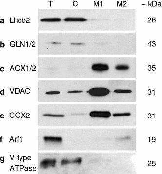 Immunoblots assessing the organellar purity of urea-extracted proteins. T total protein, C chloroplast protein, M1 mitochondrial fraction 1 protein, M2 mitochondrial fraction 2 protein, loading amounts: 10 μg/lane (a, e), 2.5 μg/lane (b–d, f, g); for dilutions of primary antibodies, see Table 1