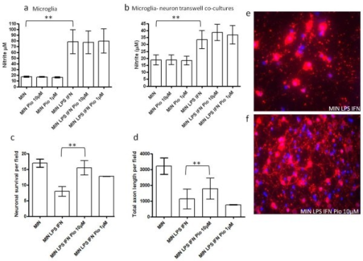 Effect of pioglitazone on microglial-induced neuronal and axonal loss in transwell co-culture. (a) Effect of pioglitazone (Pio; 1 and 10 μM) on nitrite production by microglial cultures either in the absence (MIN) or presence of LPS and IFN-γ (MIN LPS IFN). Cultures were exposed to IFN and LPS for 48 hours and nitrite levels measured in the culture supernatant (μM nitrite, **P < 0.01 compared to MIN; statistical significance was obtained by one-way ANOVA followed by Bonferroni post-hoc test. (b) Effect of pioglitazone (Pio; 1 and 10 μM) on nitrite production by neuron-microglia transwell co-cultures either in the absence (MIN) or presence of LPS and IFN-γ (MIN LPS IFN). Cultures were exposed to IFN and LPS for 48 hours and nitrite levels measured in the culture supernatant (μM nitrite, **P < 0.01 compared to MIN; statistical significance was obtained by one-way ANOVA followed by Bonferroni post-hoc test). (c) Effect of pre-treatment with pioglitazone (1 and 10 μM) on cortical neuronal survival in the presence of LPS and IFN-γ activated microglia in transwell co-culture (number of β-III tubulin cells per field) (**P < 0.01 compared to MIN LPS IFN, Student's t-test). (d) Effect of pre-treatment with pioglitazone (1 and 10 μM) on total axon length (**P < 0.01 compared to MIN LPS IFN, Student's t-test) in the presence of LPS and IFN-γ activated microglia in transwell co-culture (length of SMI-312 axons per field). Photomicrographs showing immunoreactivity for β-III tubulin (red) and DAPI (blue) in neuron-microglia transwell co-cultures in the presence of MIN LPS and IFN-γ (MIN LPS IFN) (e) and (f) MIN LPS IFN-γ and pioglitazone (10 μM) (MIN LPS IFN Pio 10 μM). ANOVA, analysis of variance; DAPI, 4',6-diamidino-2-phenylindole; IFN, interferon; LPS, Lipopolysaccharide. Microglial derived-nitric oxide has been shown to mediate significant neuronal and axonal loss in vitro. We examined the influence of pioglitazone pre-treatment on neuronal survival and axonal morphology in neuronal-microglial transwell co-cultures. Co-cultures were fixed and stained for βIII tubulin, SMI312 and the nuclear marker DAPI. Pre-treatment with pioglitazone (10 μM) conferred a neuroprotective effect with a significant increase in neuronal (Figure 2c) and total axon survival (Figure 2d) in transwell co-cultures of neurons and activated microglia. These data suggest that pioglitazone provides protection for cortical neurons in neuron-microglia co-cultures through mechanisms which may be independent of its effects on nitrite reduction and that cell-to-cell contact is not required for this to occur.