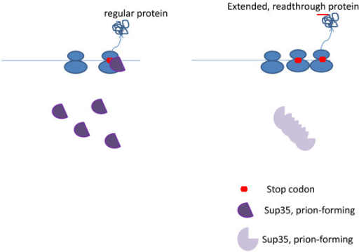 Prion (Sup35)-mediated generation of epigenetic variation.