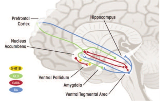 Alterations in serotonin 1B receptor (5HT1BR) function might contribute to alcohol dependence by influencing not only serotonin (5HT) input to the ventral striatum via the receptors' role as 5HT terminal autoreceptors,1 but also dopaminergic input to the striatum via the role of these receptors as heteroreceptors2 on GABA terminals within the ventral tegmental area, and glutamatergic activity within the ventral striatum via heteroreceptors on corticofugal projections.1 Autoreceptor: A site on a neuron that binds the neurotransmitter released by that neuron, which then regulates the neuron's activity.2 Heteroreceptor: A site on a neuron that binds a modulatory neuroregulator other than that released by the neuron.