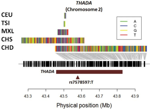 Long haplotypes around THADA in East Asian and European populations.Illustration of haplotype forms identified by haploPS that span the longest genetic distances around THADA (brown horizontal bar) on chromosome 2. Uncharacteristically long haplotypes were found at the same frequency of 45% in two East Asian populations (CHD, CHS) to span THADA, whereas at the same frequency, the longest haplotypes present in European populations (CEU, TSI, MXL) were comparatively much shorter. The haplotypes for the two East Asian populations also carried the thymine allele at rs7578597 that has been reported in association studies to increase the risk to Type 2 diabetes.