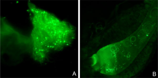 Transgenic sperm can be easily traced in the reproductive tract of laboratory wild-type females. Mechanically opened spermatheca isolated from a laboratory wild-type female mated with a transgenic male with green fluorescent sperm [32], three days after death (A). Spermathecal duct dissected from a laboratory wild-type female mated to a transgenic male with green fluorescent sperm [32] 24 hours after mating (B). Images were captured using an epifluorescence Zeiss Axioplan microscope at 400x magnification with the Zeiss filters set 13.