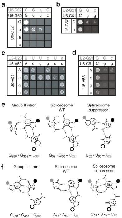Genetic evidence for base-triple interactions between the AGC triad and the ACAGAGA region of the U6 snRNA(a,b) Spot assays showing growth on selective media of equivalent numbers of yeast cells containing combinations of alleles at G52 and G60 (a) or C61 (b). (c,d) Spot assays showing growth on selective media of equivalent numbers of yeast cells containing combinations of alleles at A53 and A59 (c) or C61 (d). Matrices are presented as in Figs. 2a,b. Note that in a yeast also contained a mutation at position 59 in U4 to repair U4/U6 stem I (ref. 19). For additional positional specificity controls see Supplementary Fig. 1. (e,f) Diagrams of observed (group II intron) and predicted (spliceosome) isomorphic base-triple interactions11 involving the first (f) and second (e) residues of the catalytic triad. Diagrams are as in Fig. 2c.