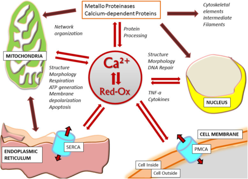 Schematic representation of the functions and relationships that appear affected by the abnormal [Ca2+] and Red-Ox signaling in FANCA cells.Functions directly affected by the altered calcium signaling are indicated by the red double arrows. Following alteration of these primary targets other internal relationships, indicated by the dark red arrows, may result modified.