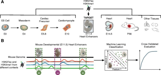 "Overview of the data and analyses.(A) I collected existing genome-wide maps of two histone marks, H3K4me1 and H3K27ac, from stages of a directed differentiation of mouse embryonic stem (ES) cells into cardiomyocytes, from heart tissues collected from several life stages, and from several other tissues. I evaluated how well these marks, which are associated with enhancer activity, could predict experimentally validated heart enhancers in E11.5 mice (""Target""). (B) I took a supervised machine learning approach to this problem by constructing feature vectors for validated enhancers and control regions based on the presence or absence of these histone modifications at their genomic locations. I created classifiers based on different subsets of the data from the cellular contexts given in (A) and evaluated them using cross validation."