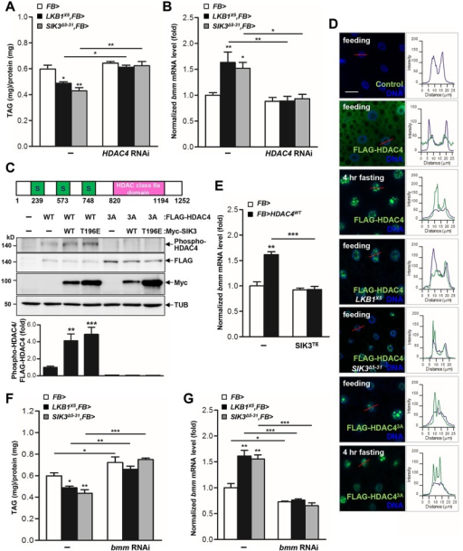 HDAC4 is the responsible target of LKB1-SIK3 signaling for controlling lipid homeostasis.(A-B) Effects of the fat body-specific knockdown of HDAC4 (HDAC4 RNAi) on TAG amounts (A) and bmm gene expression (B) in LKB1 and SIK3  mutants. Genotypes are as follows: FB> (FB-Gal4/+), LKB1X5,FB> (FB-Gal4/+;LKB1X5/LKB1X5), SIK3Δ5–31,FB> (FB-Gal4,SIK3Δ5–31/SIK3Δ5–31), FB>HDAC4 RNAi (FB-Gal4/+;UAS-HDAC4 RNAi/+), LKB1X5,FB>HDAC4 RNAi (FB-Gal4/+;LKB1X5/LKB1X5,UAS-HDAC4 RNAi), and SIK3Δ5–31,FB>HDAC4 RNAi (FB-Gal4,SIK3Δ5–31/SIK3Δ5–31;UAS-HDAC4 RNAi). (C) Drosophila HDAC4 protein structure showing three SIK3 phosphorylation sites and an HDAC class IIa domain (top panel). Immunoblot analyses showing the effect of wild-type and constitutively active (T196E) SIK3 on HDAC4 Ser239 phosphorylation in larvae (middle four panels). Densitometric analyses of phospho-HDAC4 bands (bottom panel). FB-Gal4 was used to drive transgene expression. Anti-phospho-Ser239 HDAC4, -FLAG (HDAC protein), -Myc (SIK3 protein), and -β-tubulin (TUB) antibodies were used. (D) Immunohistochemical analyses of HDAC4 (anti-FLAG antibody, green) in the fat body cells of wild type (first, second, and third rows), LKB1 mutant (LKB1X5) (fourth row) and SIK3 mutant (SIK3Δ5–31) (fifth row) L3 larvae in feeding or 4 hr fasting condition as denoted in figures. Similar experiments were also conducted for phosphorylation-defective and constitutively active HDAC4 (HDAC3A) in wild type L3 larvae in feeding (sixth row) or 4 hr fasting condition (bottom row). Cell nuclei were stained by Hoechst 33258 (blue). The graphs on the right of each image showed the intensity plot profile for each antibody staining along the red lines. Genotypes are as follows: Control (FB-Gal4/+), FLAG-HDAC4 (FB-Gal4/UAS-HDAC4), FLAG-HDAC43A (FB-Gal4/UAS-HDAC4 3A), FLAG-HDAC4,LKB1X5 (FB-Gal4/UAS-HDAC4;LKB1X5/LKB1X5), and FLAG-HDAC4,SIK3Δ5–31 (FB-Gal4,SIK3Δ5–31/UAS-HDAC4,SIK3Δ5–31). Scale bars, 20 μm. (E) Effect of fat body-specific expression of constitutively active SIK3 (SIK3 T196E) on bmm gene expression in larvae expressing wild-type HDAC4 in the fat body. Genotypes are as follows: FB> (FB-Gal4/+), FB>HDAC4WT (FB-Gal4/UAS-HDAC4), FB>SIK3TE (FB-Gal4/+;UAS-SIK3 T196E/+), and FB>HDAC4 WT,SIK3TE (FB-Gal4/UAS-HDAC4;UAS-SIK3 T196E/+). (F-G) Effects of the fat body-specific knockdown of bmm (bmm RNAi) on TAG amounts (F) and bmm gene expression (G) in LKB1 and SIK3  mutants. Genotypes are as follows: FB> (FB-Gal4/+), LKB1X5,FB> (FB-Gal4/+;LKB1X5/LKB1X5), SIK3Δ5–31,FB> (FB-Gal4,SIK3Δ5–31/SIK3Δ5–31), FB>bmm RNAi (FB-Gal4/;UAS-bmm RNAi/+), LKB1X5,FB>bmm RNAi (FB-Gal4/+;LKB1X5/LKB1X5,UAS-bmm RNAi) and SIK3Δ5–31,FB>bmm RNAi (FB-Gal4,SIK3Δ5–31/SIK3Δ5–31;UAS-bmm RNAi). Data are presented as mean ± SEM (*P < 0.05; **P < 0.01; ***P < 0.001).