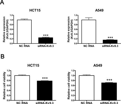 siRNA-K9.3 reduces cell viability of HCT15 and A549 cellsA. Decreased expression of KV9.3 mRNA by KV9.3 siRNA treatment in HCT15 and A549 cells. The cells were harvested 48 h after KV9.3 siRNA or negative control RNA transfection. Real-time PCR was performed for 45 cycles to quantify the KV9.3 mRNA level. Each bar represents the mean ± S.E.M. (n=4, ***P < 0.001 by the Student's t-test versus negative control RNA treated group, NC: negative control) B. KV9.3 knockdown decreases cell viability of HCT15 and A549 cells. Cell viability was measured by MTT assay 72 h after KV9.3 siRNA transfection. Each bar represents the mean ± S.E.M. (n=9, three independent experiments, ***P < 0.001 by the Student's t-test versus negative control RNA treated group).