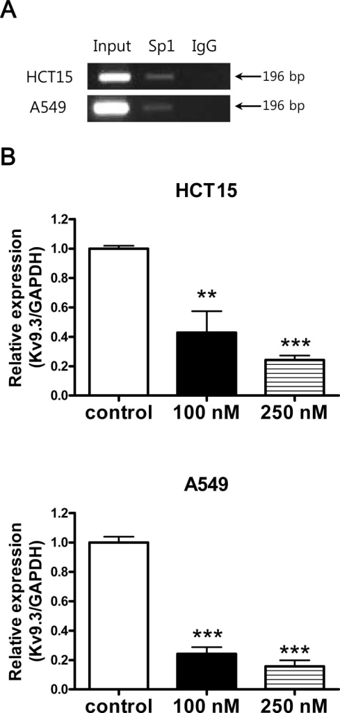 Inhibition of K9.3 gene expression by Sp1 inhibitor, mithramycin AA. Sp1 binds to KV9.3 promoter region. ChIP assay was performed with the anti-Sp1 or nonspecific rabbit (negative control) antibody. The GC rich region in the KV9.3 promoter region was amplified by RT-PCR. B. Inhibition of Sp1 by mithramycin A reduces Kv9.3 expression in HCT15 and A549 cells. The cells were treated with mithramycin A (100 nM, 250 nM) for 24 h and KV9.3 mRNA expression level was measured by real-time PCR. Each bar represents the mean ± S.E.M. (n=4, two independent experiments, **P < 0.01, ***P < 0.001 by the Student's t-test versus control group).