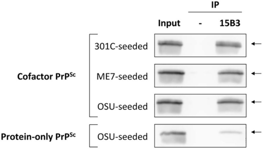 Immunoprecipitation with conformation-specific mAb 15B3 distinguishes between cofactor and protein-only PrPSc.Converted sPMCA products were purified by ultracentrifugation with nOG washes to remove unconverted α-PrP and excess lipid, and immunoprecipation was performed using 15B3-coated or uncoated rat anti-mouse IgM-conjugated magnetic beads, as indicated. The location of the discontinuous, 15B3 conformational epitope is shown in Fig 2A. Arrows indicate an Mr of ~23 kDa, the expected mobility of full-length recombinant PrP. By densitometry, the efficiency of 15B3 immunoprecipitation in this experiment is 79%, 71% and 74% for 301C-seeded, ME7-seeded, and OSU-seeded cofactor PrPSc, respectively, and 15% for OSU-seeded protein-only PrPSc.