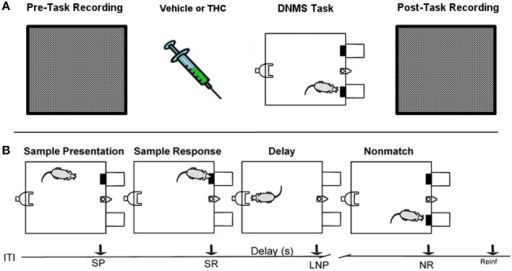 Rest (pre/post) and Delayed Nonmatch-to-Sample (DNMS) task recording paradigm. (A) Prior to each testing session, all rats were recorded in a white, rectangular plastic box for 25–30 min (pre-task recording). Upon completion of pre-task recording phase, the same rats were injected with either vehicle or delta-9-tetrahydrocannabinol (THC) 5–10 min before the start of delayed nonmatch-to-sample (DNMS) task. Immediately after completing the DNMS task, rats were put back into the same plastic chamber for another 25–30 min recording (post-task recording). (B) Progression of the DNMS task is illustrated. A 10 s Intertrial Interval (ITI) precedes the Sample Presentation (SP). Rats must make the Sample Response (SR) and remember the lever position throughout the variable 1–30 s delay that terminates after the Last Nosepoke (LNP). The LNP signals extension of both levers and rats receive a water reward (reinforcement) for appropriately making a Nonmatch Response (NR).
