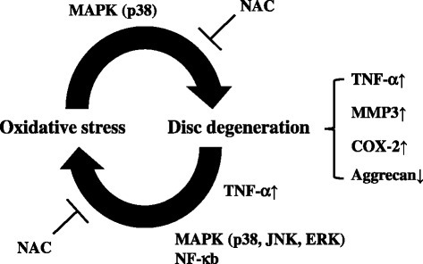 Schematic of relationship between oxidative stress and disc degeneration. Schematic showing positive catabolic feedback loop between excessive ROS and catabolic factors in AF cells. Excessive ROS induced expression of catabolic factors, which are upregulated in the degenerative state, and reduced cartilage ECM aggrecan via the signaling pathways of p38 in AF cells. Conversely, TNFα increased intracellular ROS levels in AF cells through p38, JNK, ERK, and p65. These pathways were neutralized by NAC. COX cyclooxygenase, ERK extracellular signal-regulated kinase, JNK c-Jun N-terminal kinase, MAPK mitogen-activated protein kinase, MMP matrix metalloprotease, NAC N-acetyl cysteine, NF nuclear factor, TNF tumor necrosis factor