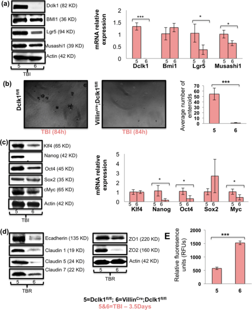Dclk1 KO mice exhibit impaired intestinal epithelial self-renewal and epithelial barrier function 84 h post-TBI.(a) Western blot analysis of protein expression of stem cell markers Bmi1, Lgr5, Msi1, and Dclk1, in IECs isolated from VillinCre;Dclk1f/f and Dclk1f/f mice 84 h post-TBI. RT-PCR analysis of mRNA expression of stem cell markers Bmi1, Lgr5, Msi1, and Dclk1, in IECs isolated from VillinCre;Dclk1f/f and Dclk1f/f mice 84 h post-TBI. (b) Enteroid formation assay: IECs isolated from VillinCre;Dclk1f/f and Dclk1f/f mice 84 h after TBI were directly embedded in 0.3% soft agar. Bar graph represents the average number of enteroids formed from IECs isolated from VillinCre;Dclk1f/f and Dclk1f/f mice 84 h post-TBI. (c) Western blot analysis of protein expression of pluripotency factors Klf4, Nanog, Oct4, Sox2, and cMyc in IECs isolated from VillinCre;Dclk1f/f and Dclk1f/f mice 84 h post-TBI. RT-PCR analysis of mRNA expression of pluripotency factors Klf4, Nanog, Oct4, Sox2, and cMyc in IECs isolated from VillinCre;Dclk1f/f and Dclk1f/f mice 84 h post-TBI. (d) Western blot analysis of protein expression of e-cadherin, Claudin 1, 5 and 7, and Zona Occludin 1 and 2 in IECs isolated from VillinCre;Dclk1f/f and Dclk1f/f mice 84 h post-TBI. (e) Fluorometric analysis of cardiac blood collected 4 hours after FITC gavage in VillinCre;Dclk1f/f and Dclk1f/f mice 84 h post-TBI. All quantitative data are expressed as means ± SD of a minimum of three independent experiments. P values of <0.05 = *, < 0.01 = **, and 0.001 = *** were considered statistically significant.