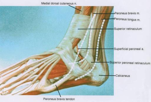 Medial Dorsal Cutaneous Nerve Fibularis Peroneus Bre Open I