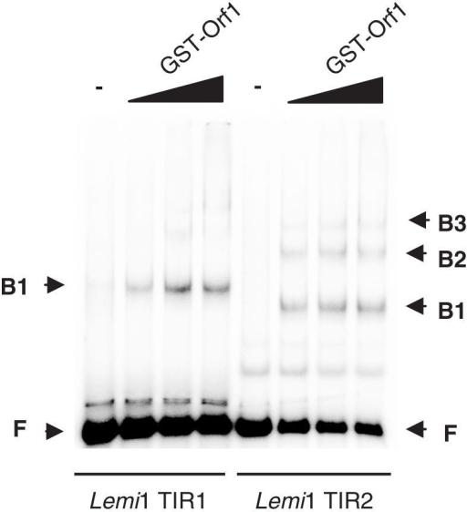 Lemi1 proteins binding to Lemi1 TIRs. Increasing concentrations of the GST–Orf1 protein were incubated with radioactively labelled probes corresponding to the 5′- and 3′-terminal sequences of Lemi1 (Lemi1 TIR1: 106 bp of Lemi1 sequence and 93 bp of flanking genomic DNA; Lemi1 TIR2: 64 bp of Lemi1 sequence and 134 bp of flanking genomic DNA) and were analysed by EMSA. The migrating position of the free probes (F) and the different retarded bands (B1–B3) is shown on both sides of the panel.
