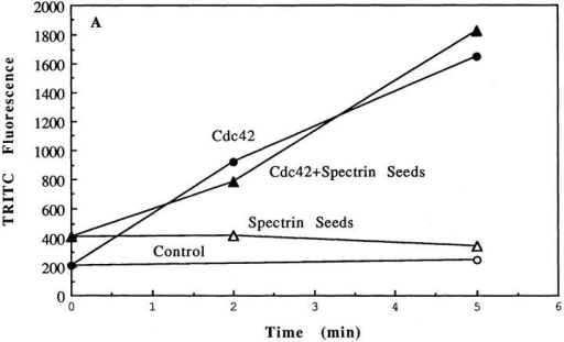 Addition of spectrin-actin seeds to cell supernatants.  (A) Effects of spectrin-actin seeds and/or Cdc42 on actin polymerization. Supernatants were incubated at 37°C with buffer  (open circles), spectrin-actin seeds (open triangles), 100 nM  GTPγS-charged Cdc42 (closed circles) or both spectrin-actin  seeds and 100 GTPγS-Cdc42 (closed triangles), for 2 or 5 min before the F-actin levels were determined by the TRITC-phalloidin  staining of pelletable material (refer to Materials and Methods).  For t = 0, the seeds were added after a 15-fold dilution of supernatant. Data are from a single experiment representative of  three. (B) Spectrin actin seeds become rapidly capped when incubated with supernatant. Spectrin-actin seeds were incubated in  supernatants for 5, 10, or 60 s before the supernatant was diluted  100-fold into 1.5 μM pyrenyl-actin. Polymerization of the pyrenyl- actin was then followed over time from the pyrenyl fluorescence  (refer to Materials and Methods). For the time 0 point, the seeds  were added after supernatant to the pyrenyl-actin. Data shown  are representative samples. (C) Time course of capping was determined from the decrease in initial rate of polymerization. The  initial rate of increase in pyrenyl fluorescence (proportional to  the number of elongating filaments) is plotted versus the duration  of incubation of the seeds with the supernatant. The data, expressed as percent of seed-induced initial rate at the start of incubation, are from supernatants (closed squares) at 3 mg/ml protein  (as used for most experiments) or 0.75 mg/ml (closed triangles).  The half-time of capping, in supernatants at 3 mg/ml, ranged between 3 and 9 s in different supernatants.