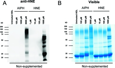 Isolated HDL treated with HNE and oxidized with AIPH in different concentrations. They are visualized with anti-HNE (left) or colloidal blue (right). Note the migration shift seen in the colloidal blue stained gel in the ApoA1 band between 20−26 kDa is induced by oxidation, but not by HNE.