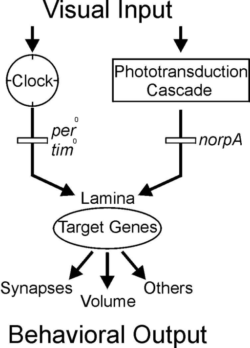 Model of parallel pathways.Light serves at least two functions in the visual system of Drosophila, it entrains and keeps the autonomous circadian clock of photoreceptors in phase and it triggers the phototransduction cascade. Both cellular mechanisms are active in parallel in photoreceptor cells and both converge in the volume control of their synaptic terminals in the lamina. The neuronal readout of this peripherally controlled morphological and functional plasticity is further computed downstream of the photoreceptor terminals, within the lamina and/or e.g. in the lobula plate, to instruct the appropriate behavior.