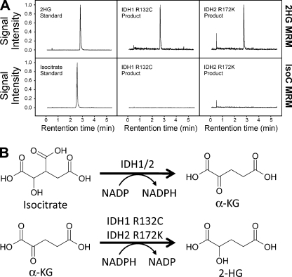 "Recombinant IDH1 R132C and IDH2 R172K produce 2-HG. (A) LC-MS analysis of in vitro reactions using recombinant IDH1 R132C and IDH2 R172K confirms that 2-HG and not isocitrate is the end product of the mutant enzyme reactions. Reactions were performed in triplicate in each of two independent experiments; typical chromatograms are presented. (B) The WT IDH1 enzyme catalyzes the oxidative decarboxylation of isocitrate to α-KG, with the concomitant reduction of NADP to NADPH. The IDH1 R132C and IDH2 R172K mutants reduce α-KG to 2-HG while oxidizing NADPH to NADP. These are referred to in the text as the ""forward"" and ""partial reverse"" reactions, respectively."
