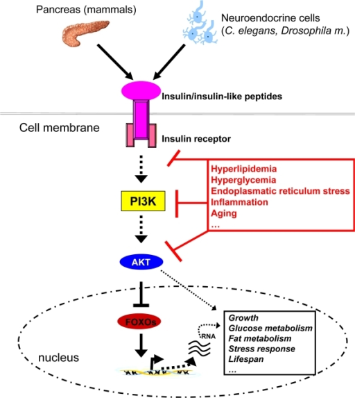 Insulin-like signalling plays a central role in growth, metabolism and the aging process. Insulin, derived from pancreatic beta-cells in mammals or insulin-like peptides derived from neuroendocrine cells in invertebrates signals via binding to and activation of the membrane bound receptors. This event subsequently activates PI3K, which through phosphorylation of membrane lipids (phosphorinositides) regulates activity of the downstream kinase AKT. AKT eventually phosphorylates forkhead transcript-tion factors such as FOXO1, which are then exported from the nucleus and degraded. FOXOs regulate transcription of many genes involved in glucose and lipid metabolism, growth, stress response and the aging process. Thus, insulin-like signalling is able to control all of these processes through FOXO regulation and other signalling cascades, in the end impinging on crucial physiological processes and lifespan itself. Nonetheless, chronic intake of energy-dense food coupled with little physical activity leads to hyperlipidemia and hyperglycemia, which through several mechanisms (including JNK1 activation) reduce cellular insulin sensitivity, thereby disrupting metabolic homeostasis.