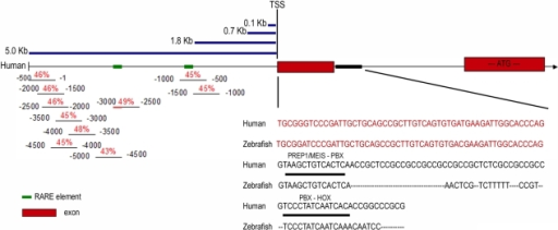 Analysis of the homology between the 5′ and intronic regulatory regions of the zebrafish prep1.1 and human Prep1.The middle part of the Figure shows a scheme of the 5′ region of human Prep1 gene, including the first two exons (red boxes) and the first intron. The positions of the transcription start site (TSS) and of the translation start sequence (ATG) are indicated. Moreover, the promoter fragments used for the analysis of the Prep1 promoter, measuring 0.1, 0.7, 1.8 and 5.0 Kb, are reported (blue lines). In the bottom left corner there is a schematic representation of the homology in the first 5 kb between the zebrafish and human region, performed blasting 500 bp segments of the zebrafish prep1.1 regulatory region agaibnst the whole human 5 Kb. The red numbers indicate the percentage of identity, the black numbers show the position of the 500 bp zebrafish promoter segments. The bottom right corner shows the sequence comparison between the first (untranslated) exons (red) and the first 100 bp of the first intron (black) of human and zebrafish Prep1 gene. Prep1/Meis-Pbx and Pbx-Hox binding sites are indicated.