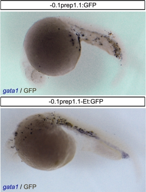 GFP is expressed in some gata1-positive cells.Combined in situ hybridization for gata1 (purple) and immunohistochemistry for GFP (dark brown) in 24 hpf embryos injected with the 0.1 Kb promoter constructs (-0.1prep1.1:GFP and -0.1prep1.1-Et:GFP) reveals the co-localization of the two signals in the most of embryo.