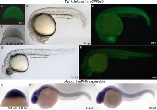 A transgenic fish expressing GFP under the 1.8 Kb zebrafish prep1.1 promoter recapitulates the expression of the endogenous gene during embryogenesis.A–F: live Tg(-1.8pknox1.1:eGFP)io009 embryos of three different developmental stages (indicated) visualized by confocal (A) or fluorescence microscopy (D, F). Embryos in B, C and E are the same of A, D and F respectively, visualized in transmission (A) and bright field (C, E). G, H, I: In situ hybridization of embryos at the same stage of development with the pknox1.1 antisense RNA-probe, shown in lateral view.