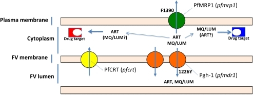 Proposed model for mode of action of the polymorphisms found.The central assumption is that ART, LUM and MQ drugs have their main pharmacological targets located in the cytoplasmic compartment while PfMRP1, operates by reducing the intra-cytoplasmatic concentrations by effluxing them out of the cell. Pgh-1, on its turn will contribute to further drug expulsion from the cytoplasm by transporting these drugs towards the lumen of the food vacuole.