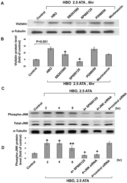 HBO-induced visfatin expression in human CAECs is via JNK kinase. A, Representative Western blots for visfatin protein levels in human CAECs subjected to HBO stimulation for 6 h in the absence or presence of inhibitors. B, Quantitative analysis of visfatin protein levels (n = 4 per group). *P < 0.001 vs. HBO. C, Representative Western blots for phosphor-JNK and total JNK protein levels in human CAECs subjected to HBO stimulation for 2 to 6 h in the absence or presence of inhibitor or siRNA. D, Quantitative analysis of phosphor-JNK protein levels (n = 4 per group). *P < 0.001 vs. control. **P < 0.01 vs. control. +P < 0.001 vs. HBO at 4 h.